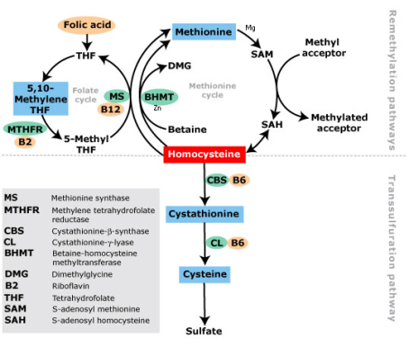 Homocysteine_metabolism